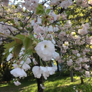 Cherry Blossom Tokyo, Japan